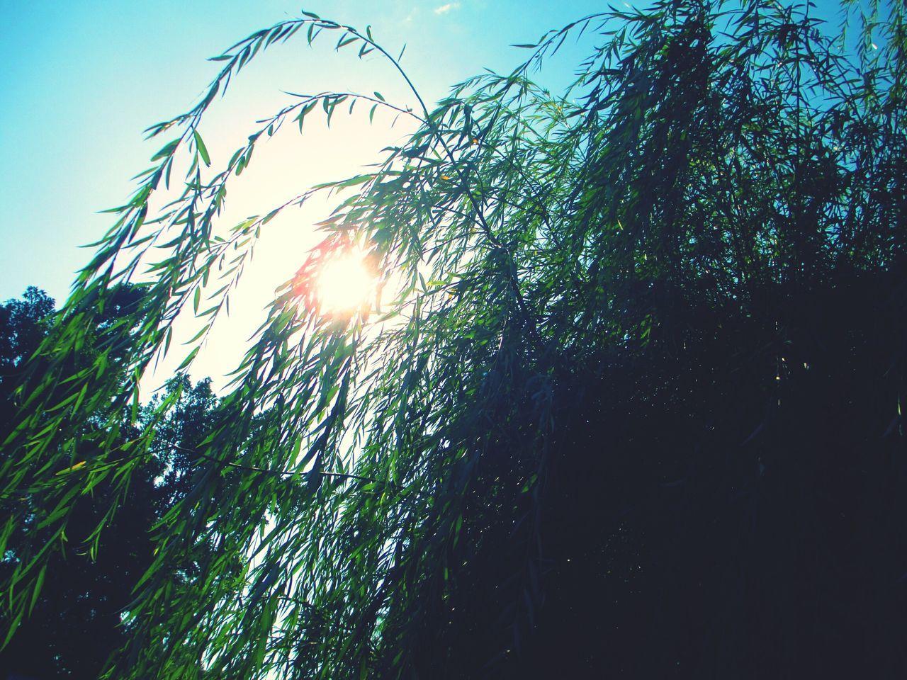 Novorossiysk новороссийск2016 нежность рассвета Tree Nature Природа рассвет Рассвет🌇🌄 Beautiful Beautiful Nature Beauty In Nature Beautiful Day Green Color Day Morning утро ива
