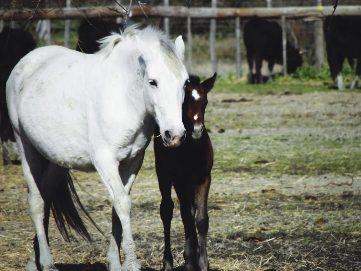 Animal Themes Livestock Horse Horses Two Horses Baby Horse White Horse Family Foal Mammal Outdoors No People Cattle Nature Day Close-up Pet Portraits