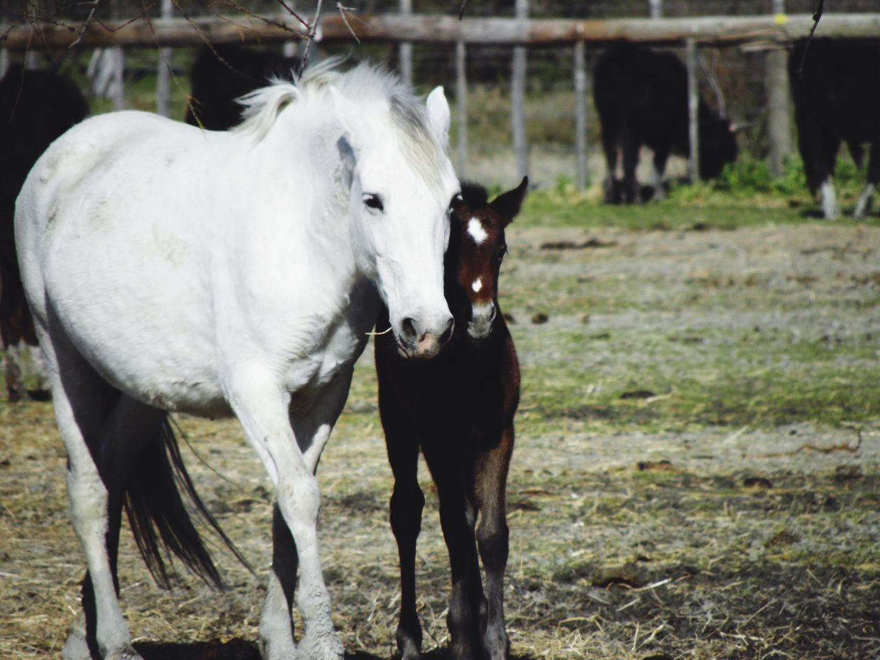 Animal Themes Livestock Horse Horses Two Horses Baby Horse White Horse Family Foal Mammal Outdoors No People Cattle Nature Day Close-up
