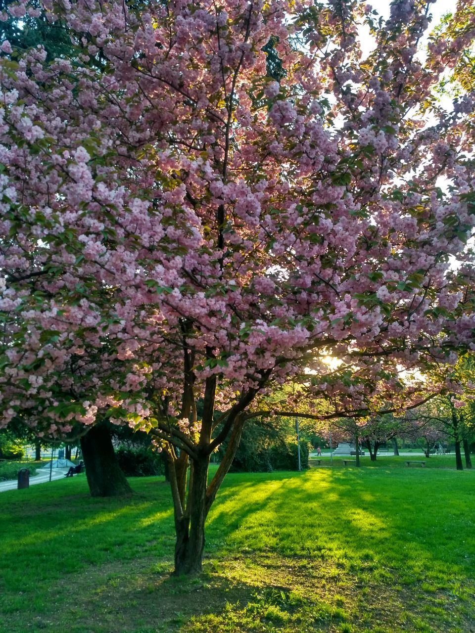 tree, blossom, flower, growth, nature, beauty in nature, springtime, cherry tree, grass, orchard, branch, no people, freshness, tranquility, pink color, fragility, outdoors, day, park - man made space, scenics