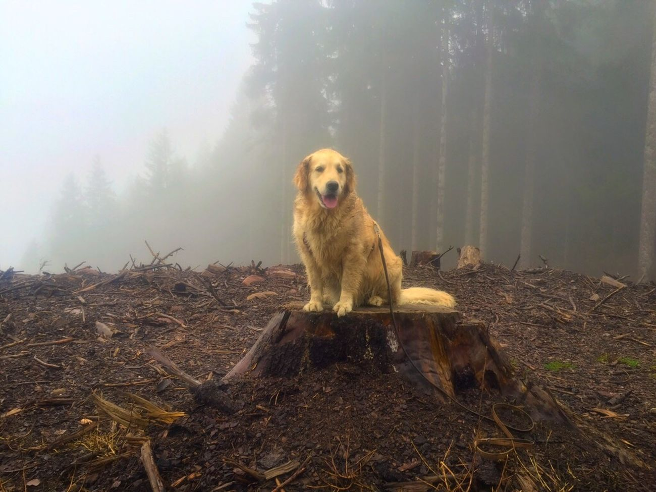 """""""The Dog is on the Tree""""... Domestic Animals Animal Themes Pets Dog Golden Retriever Nature November Mountainlife Trekking Non-urban Scene Me&MyBestfriend Me&mydog Mygoldendog Goldenretriever Golden Retriever No People Tranquil Scene Outdoors Doggy Love Dog Love Dogslife"""