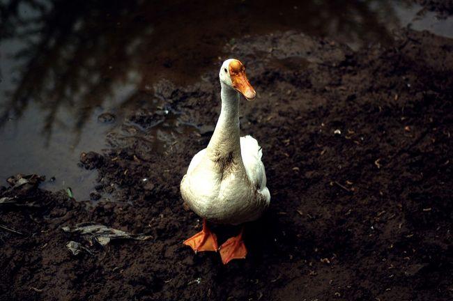 Goose Bird Hello World Hi! Taking Photos Nikon D50