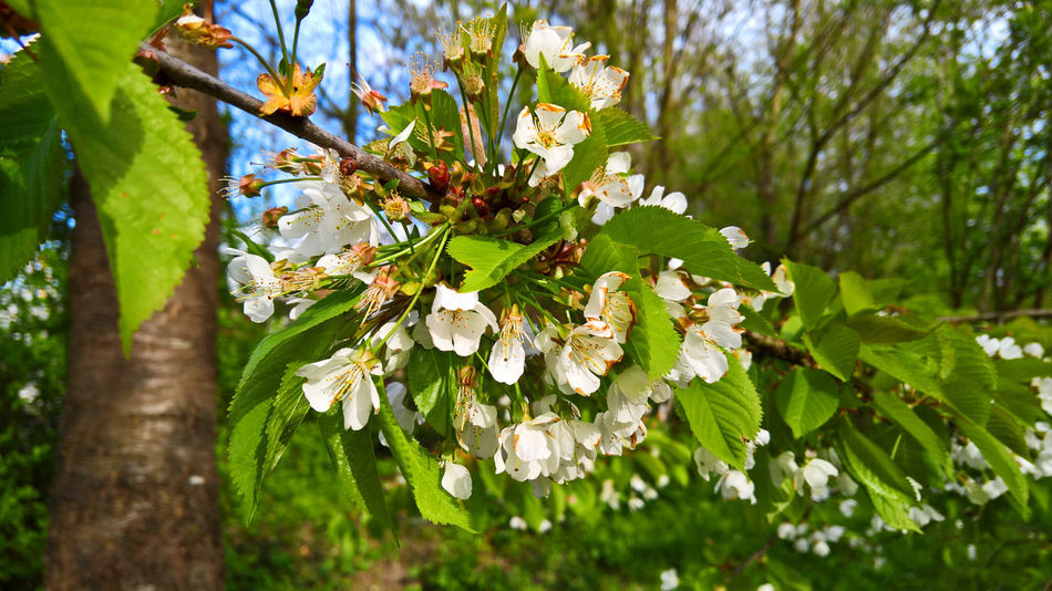 Cherry Blossom Botany Cherry Cherry Blossoms Day Flower Frühling Kirschblüte Kirsche No People Outdoors Plant Spring Sun Tree Tree
