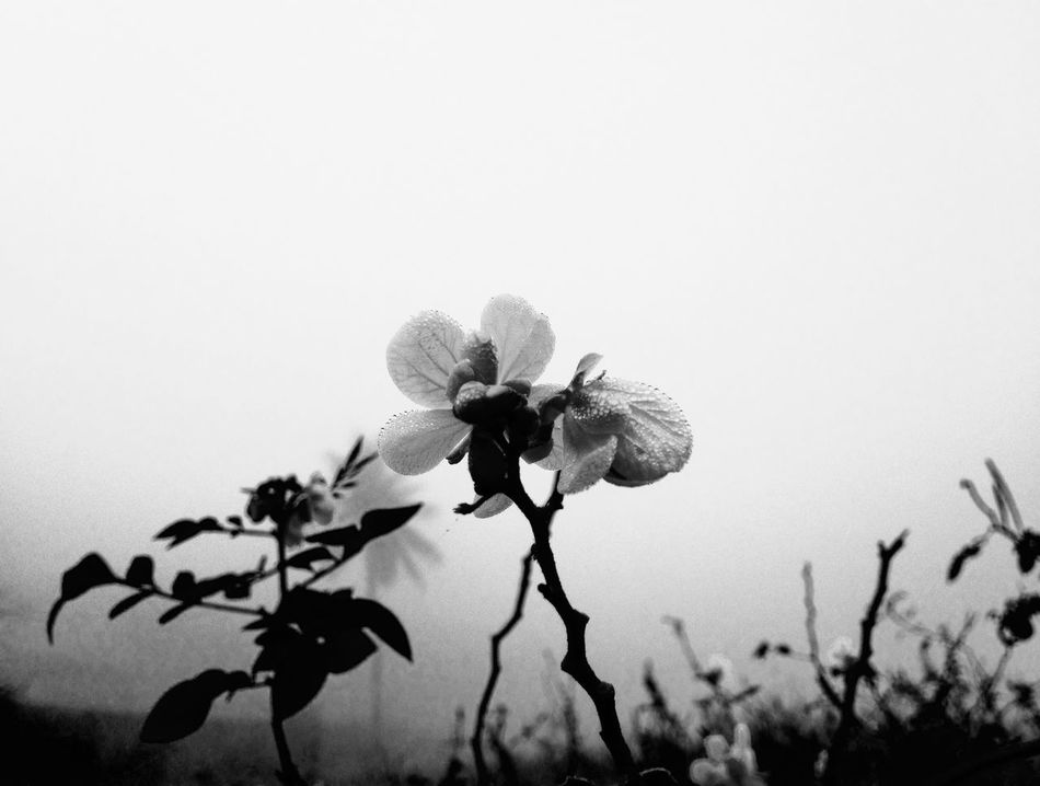 Flowers Flower Nature No People Flower Head Blackandwhite Black & White Black And White Blackandwhite Photography Black And White Photography IPhoneography Iphoneonly IPhone Iphonephotography Iphonesia IPhone Photography IPhone4s IPhone 4S Mobilephotography Mobile Photography Mobilephoto