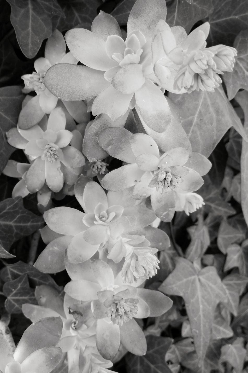 Beauty In Nature Black And White Blackandwhite Flower Fragility Freshness Nature Petal