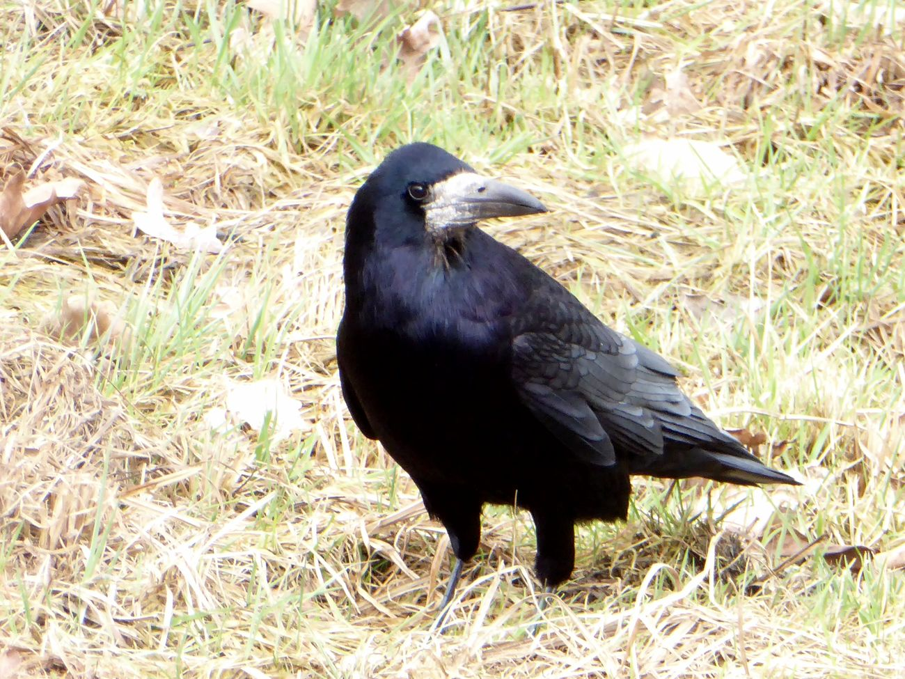 my favorite ravenbirds😍 Animal Themes Animals In The Wild Animal Wildlife Nature Raven - Bird Crow Stormy Weather ☔ Beauty In Nature For My Friends 😍😘🎁 Tranquil Scene Animal Posing