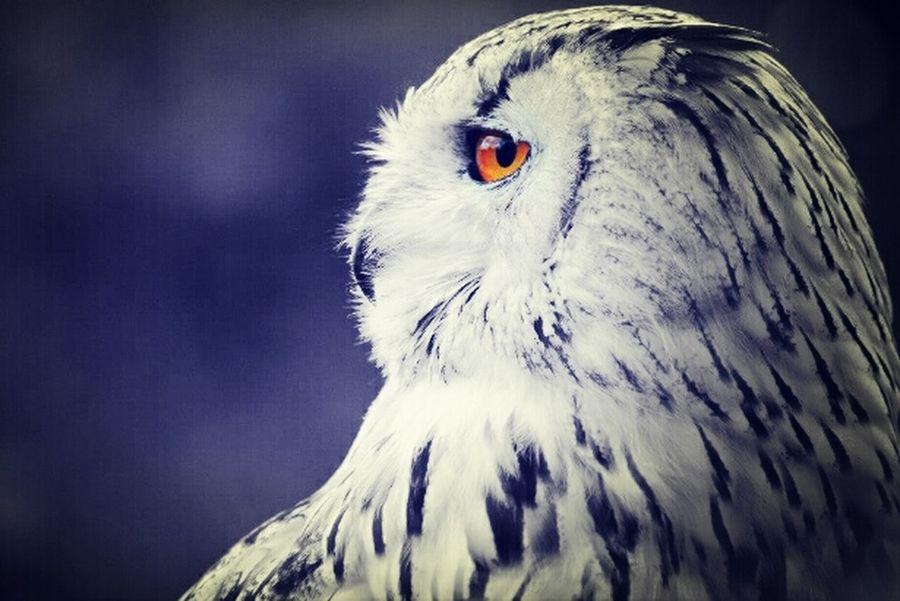 Eagle Owl Colour Black & White