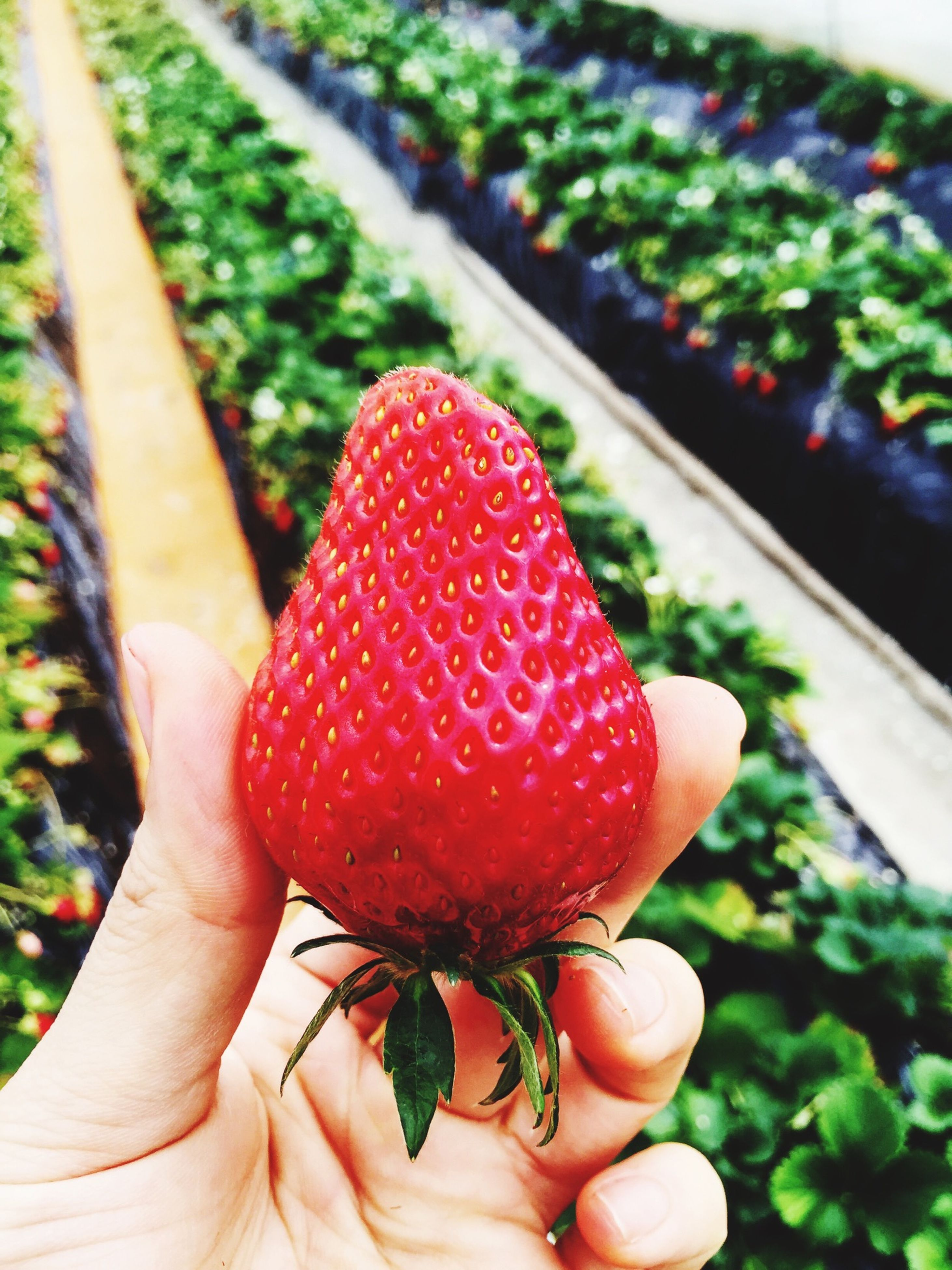 person, holding, part of, cropped, freshness, human finger, red, unrecognizable person, food and drink, personal perspective, close-up, fruit, focus on foreground, food, healthy eating, strawberry, lifestyles