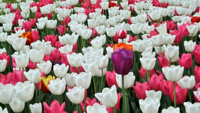 Be different :). Tullips Tullip Flowers White Flower Different Different Colors