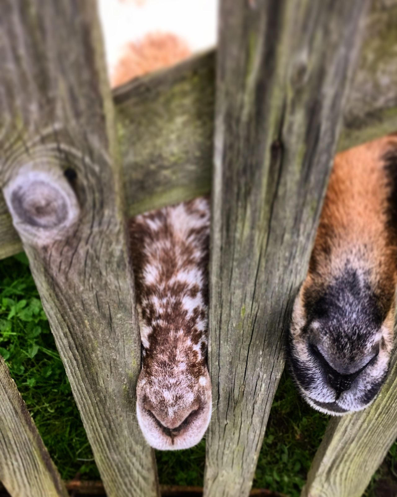 Sheep muzzles Wood - Material Animal Themes No People Day Close-up Outdoors Mammal Wooden Post Nature Animals Muzzle Muzzles Sheep Sheeps Cute Noses Pattern Patterned Peeking Peek Domestic Animals Farm