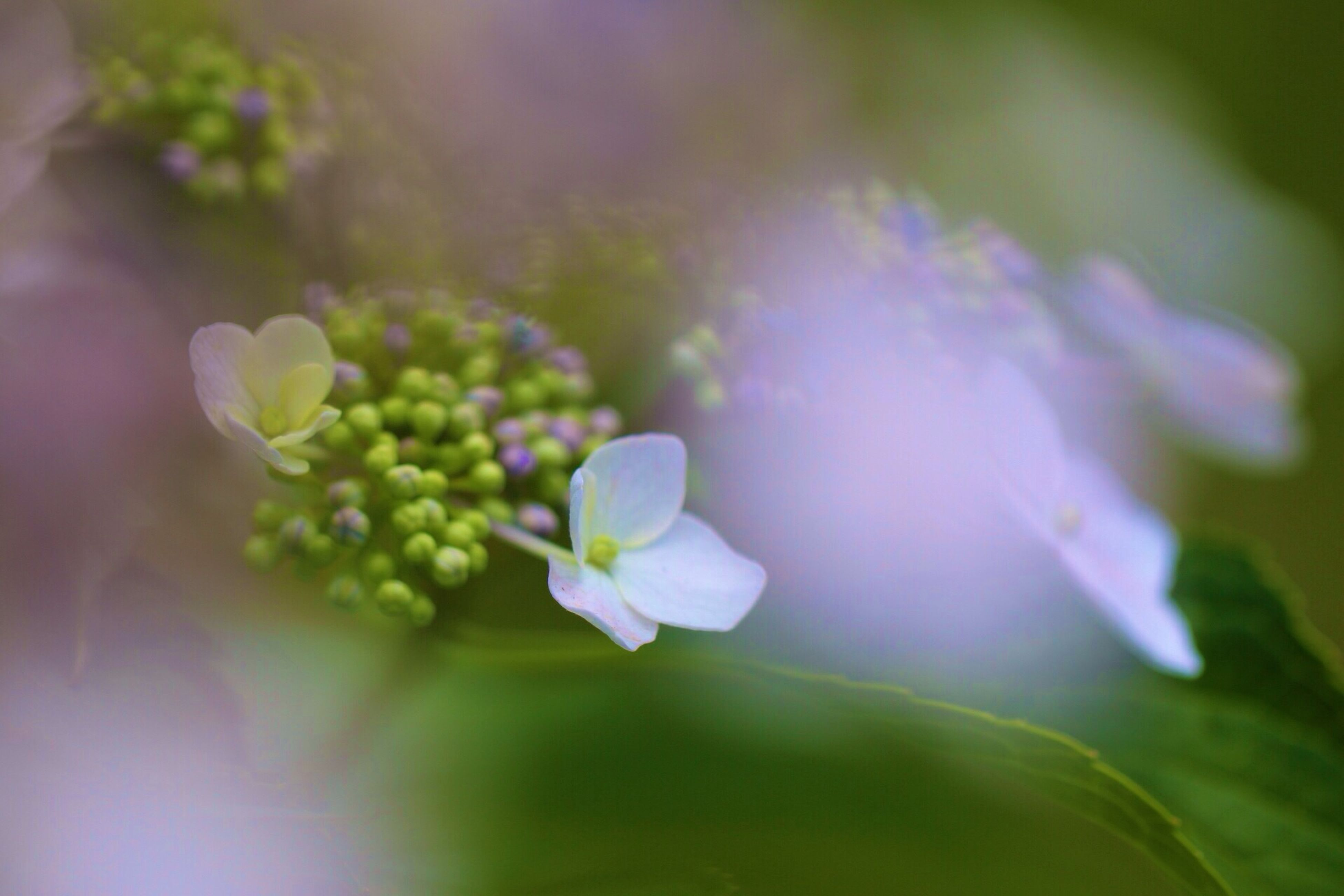 flower, freshness, petal, fragility, growth, flower head, beauty in nature, close-up, nature, blooming, selective focus, focus on foreground, plant, purple, in bloom, bud, blossom, springtime, pollen, botany