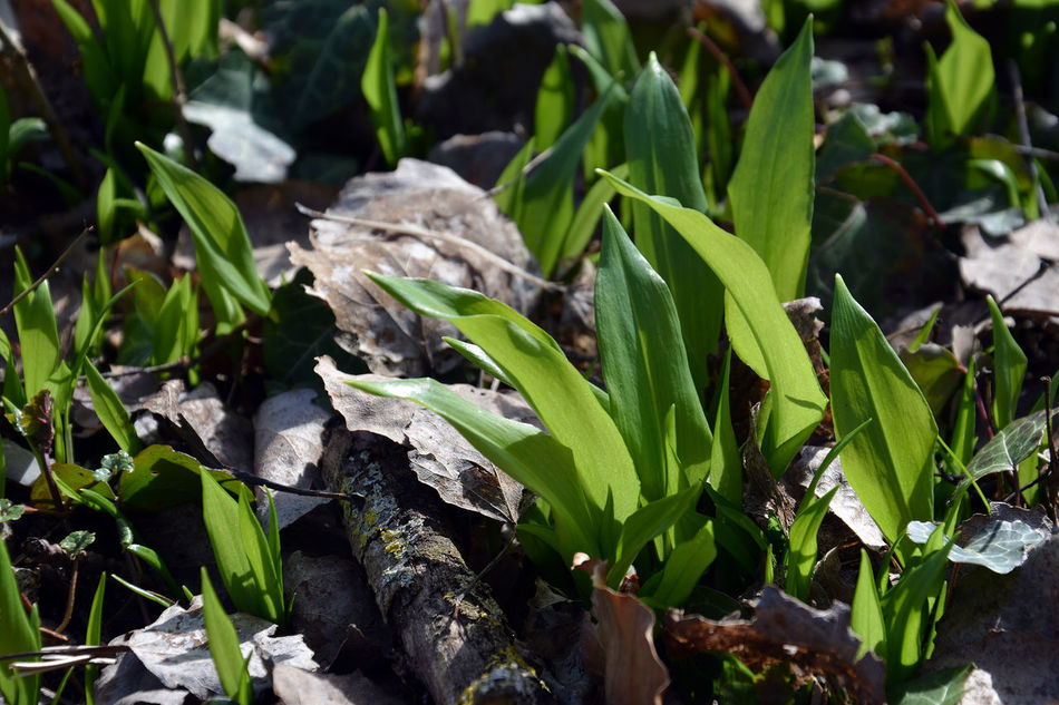 Ramsons in season now. Wild garlic great for pesto. Allium Ursinum Bear Leek Buckrams Close-up Denmark Edible Plants Forest Floor Freshness Green Color Growth Healthy Food Herb Ingredient Leaf Nature No People Organic Outdoors Plant Ramsons Spring Vegetarian Vejle Wild Garlic Wood Garlic