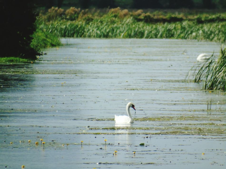 Bird Animal Themes Animals In The Wild Water Wildlife Swimming Nature Water Bird Avian Beauty In Nature Tranquil Scene Nature On Your Doorstep Non-urban Scene Outdoors Nature Somerset Levels Uk In All Its Glory