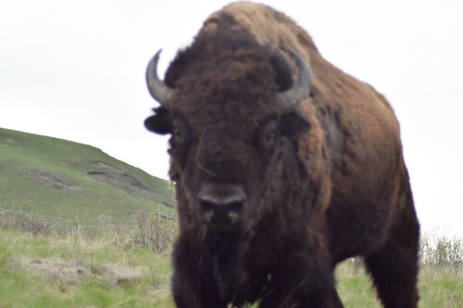 One Animal Bison Animal Themes No People Close-up EyeEm Nature Lover EyeEm Best Shots Bison Range near Polson, Montana