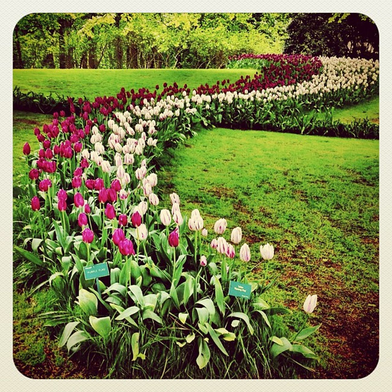 Tulips again ???? #holland #ubiquography #jj_forum #jj #earlybirdlove #ebstyles_gf #dutch #flower #garden #park #keukenhof #tulip Ebstyles_gf Garden Flower Holland Park Tulip Dutch Jj  Keukenhof Earlybirdlove Jj_forum Ubiquography