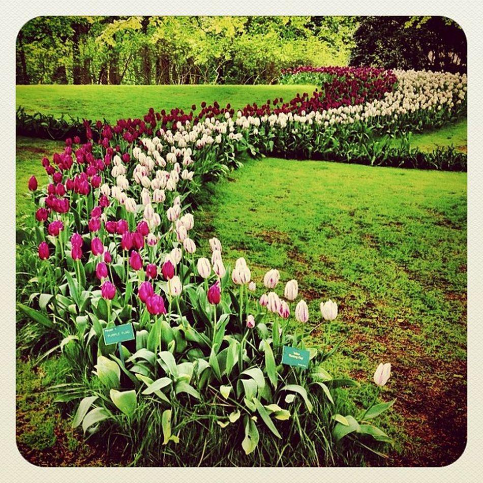 Tulips again ???? #holland #ubiquography #jj_forum #jj #earlybirdlove #ebstyles_gf #dutch #flower #garden #park #keukenhof #tulip Ebstyles_gf Garden Flower Holland Park Tulip Dutch Jj  Keukenhof Earlybirdlove Jj_forum Ubiquography