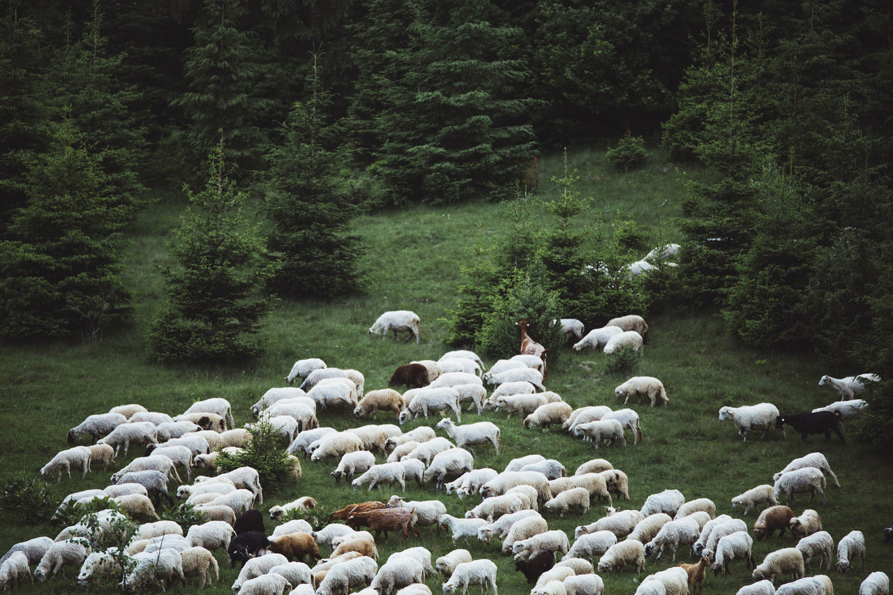 Animal Themes Beauty In Nature Day Domestic Animals Flock Of Sheep Green Color Growth Landscape Large Group Of Animals Livestock Mammal Mountain Nature Nature Nature Photography Nature_collection No People Outdoors Sheep Sheeps Togetherness Tranquility Transylvania Tree Valley