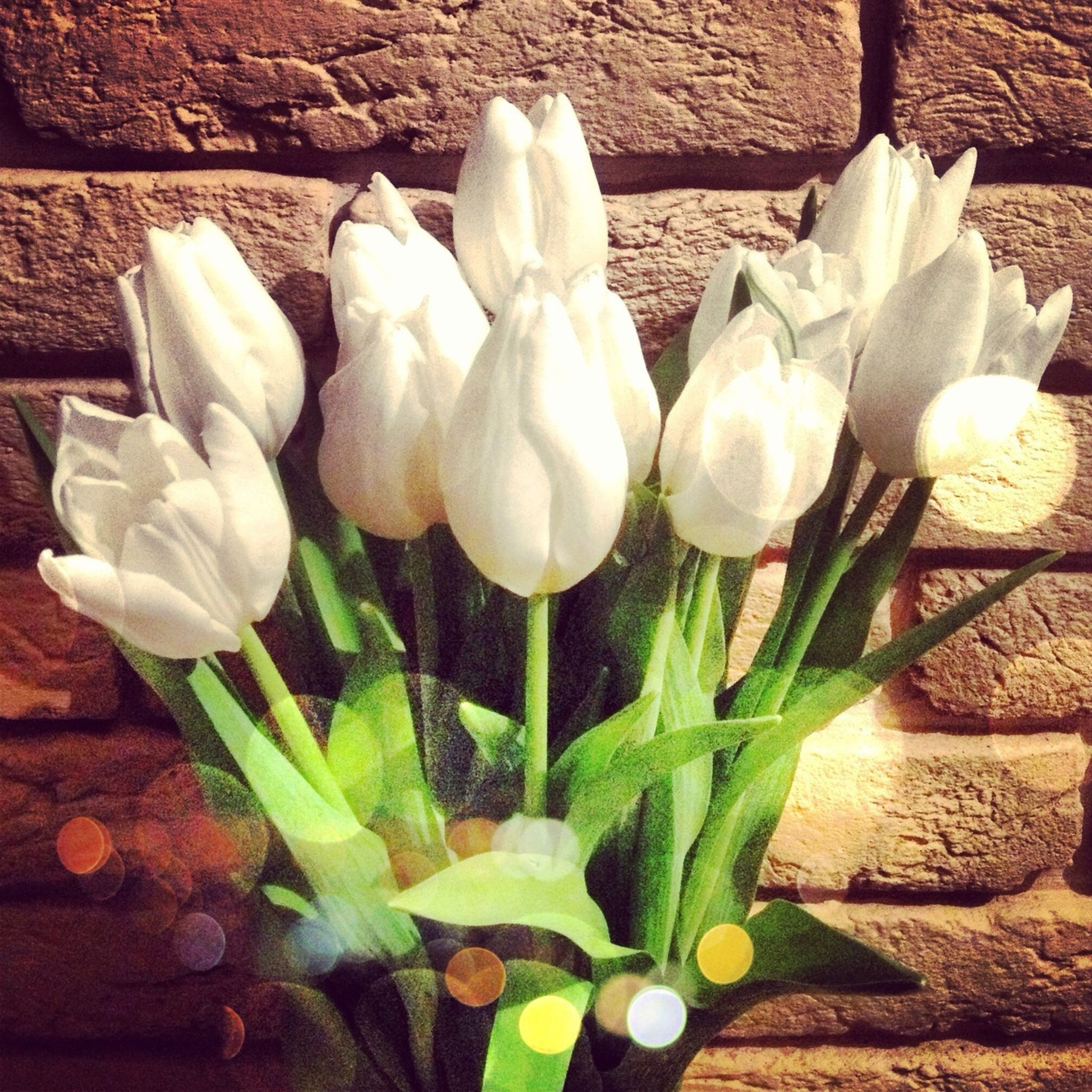 flower, freshness, growth, fragility, plant, petal, flower head, leaf, nature, white color, beauty in nature, close-up, high angle view, field, stem, tulip, botany, day, blooming, bud