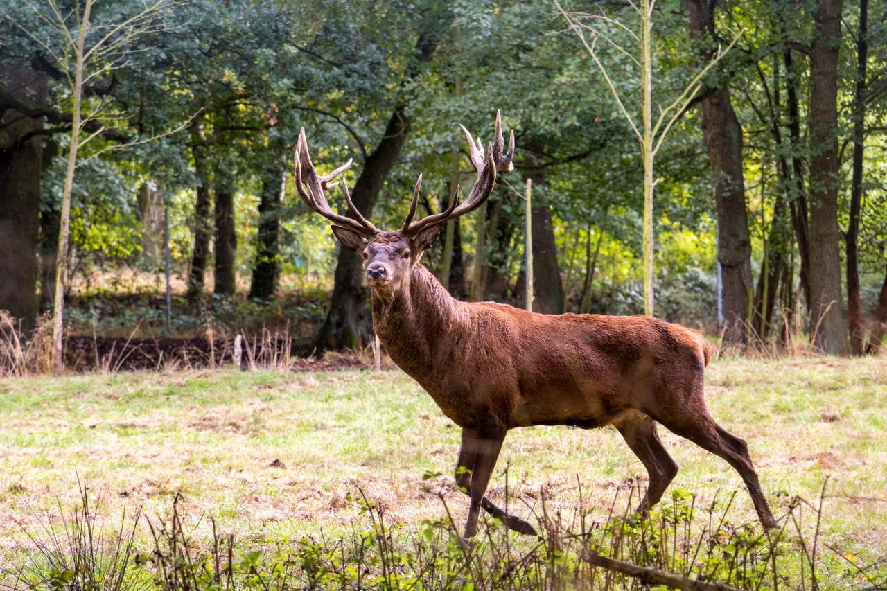 Side View Of Red Deer Walking On Field