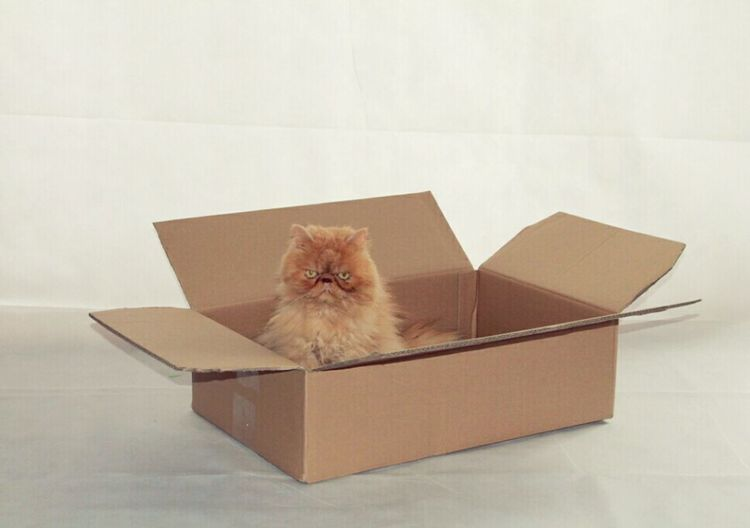 Persiancat Persian Pers Perzishe Kat Kat Kitty Softkitty Box Doos  Angry Happy Looking At Camera Sweet Cat Red Ginger