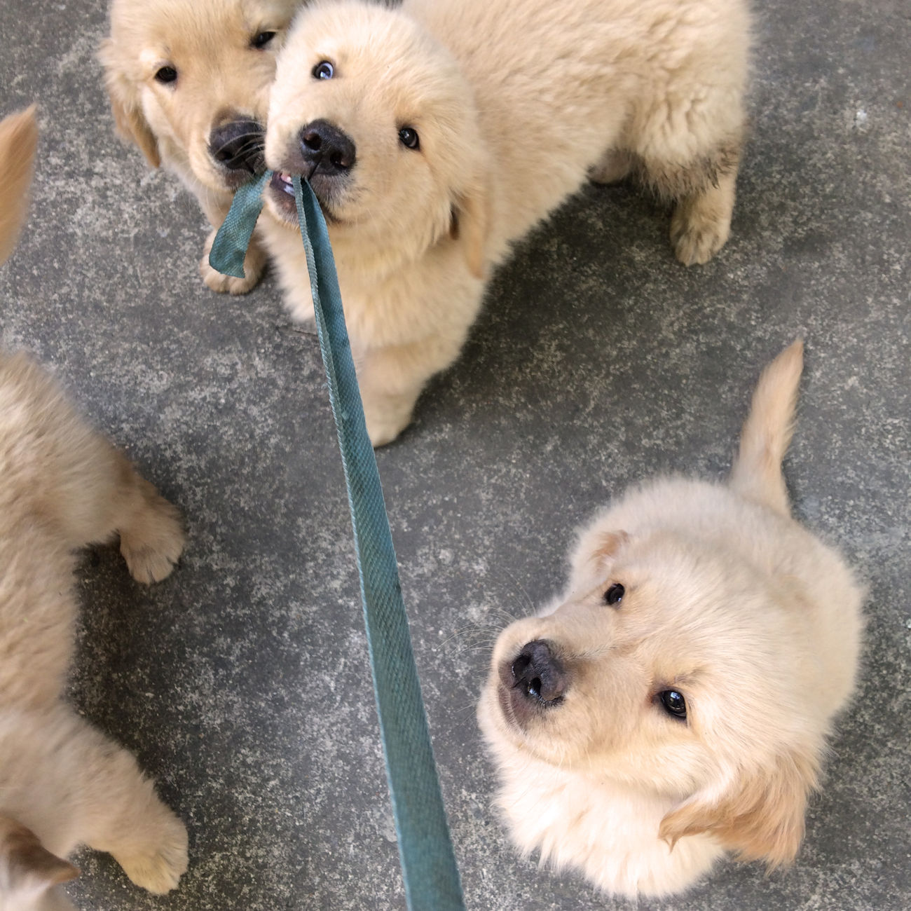 It's Mine Animal Themes Day Dog Domestic Animals Funny Golden Retriever Goldenretriever High Angle View Mammal No People One Animal Outdoors Pets Playing Puppies Puppy