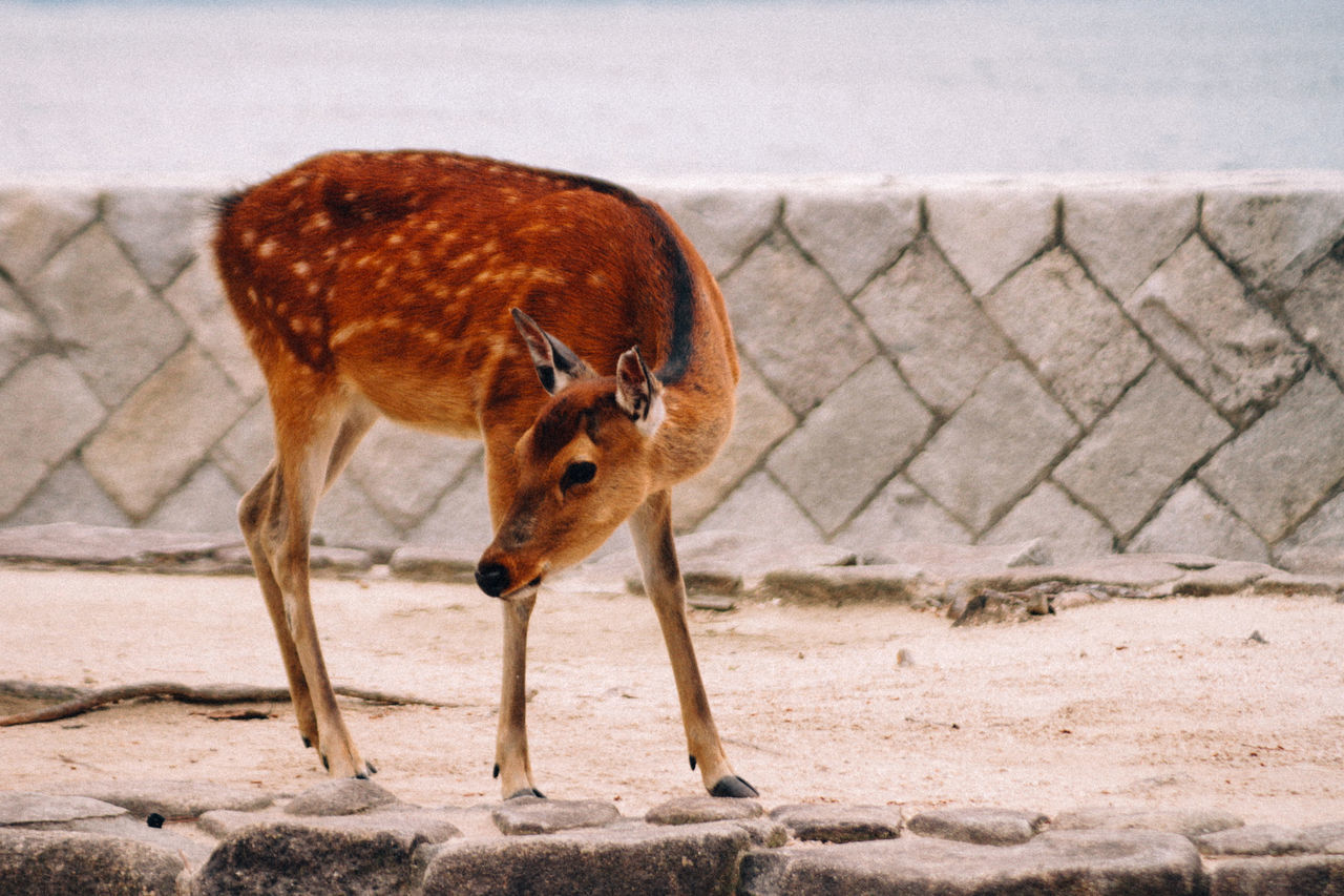 Animal Themes Animal Wildlife Animals In The Wild Baby Bambi Calf Day Deer Domestic Animals Mammal Nature No People One Animal Outdoors Outside