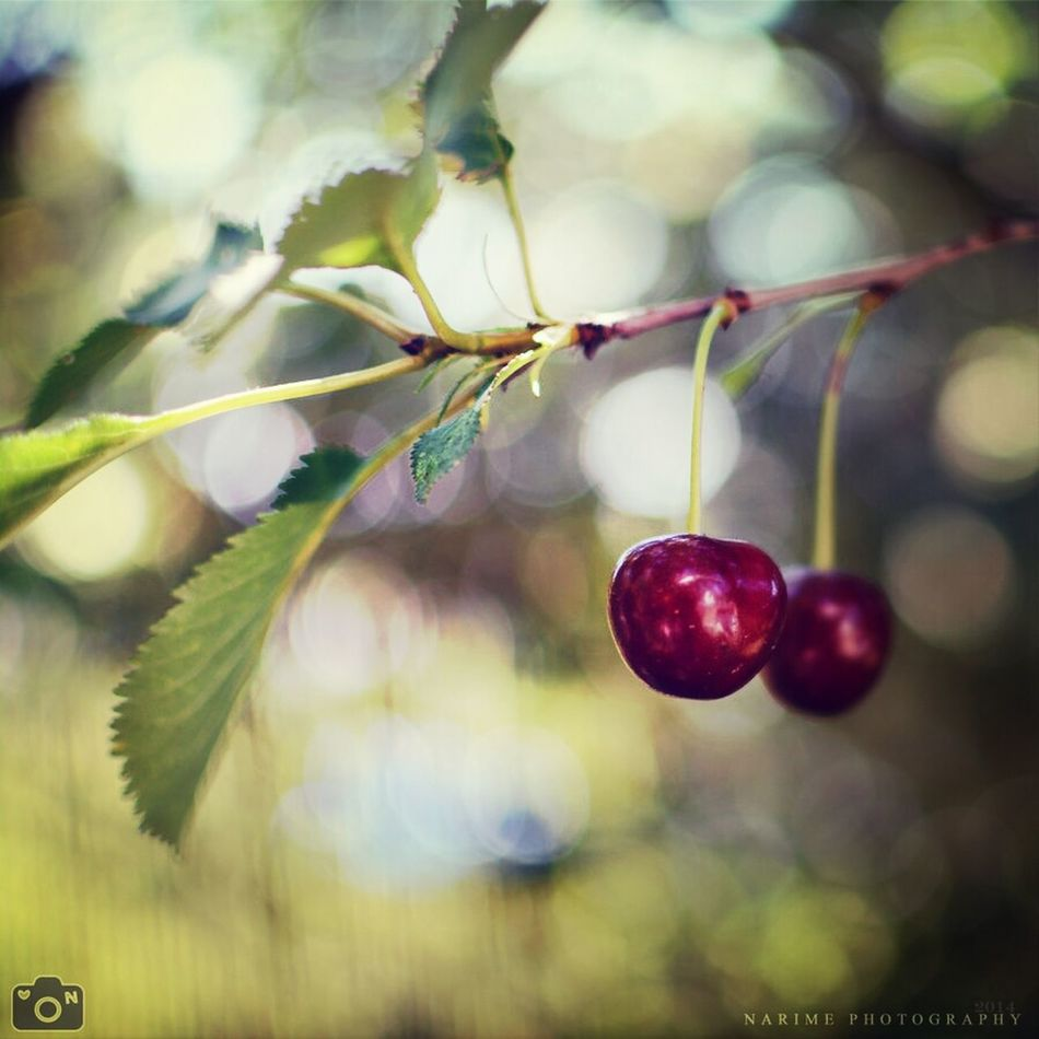 Cherry Tree Bokeh Narime