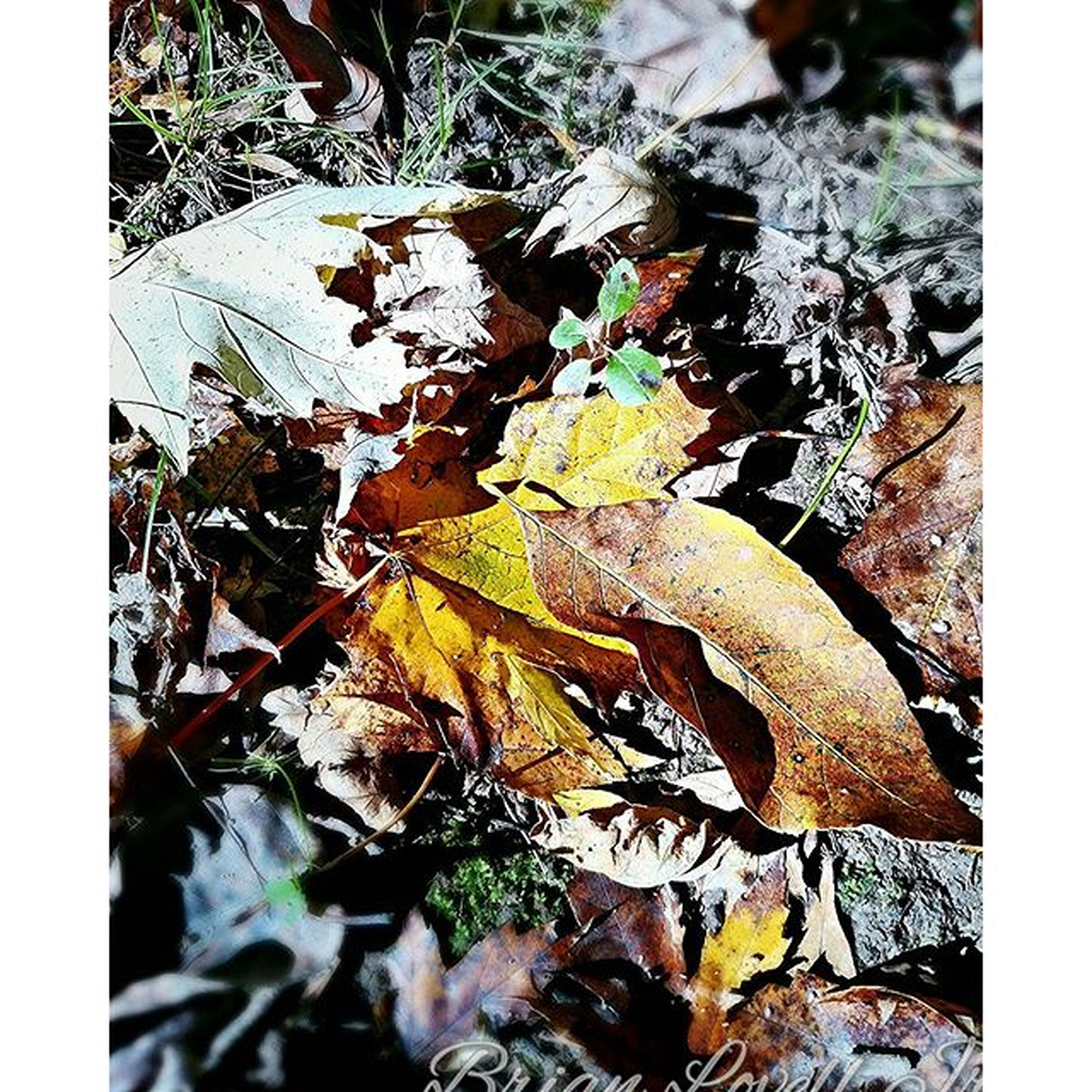 leaf, transfer print, autumn, leaves, dry, auto post production filter, change, nature, season, plant, fallen, growth, high angle view, close-up, tranquility, day, outdoors, branch, no people, beauty in nature