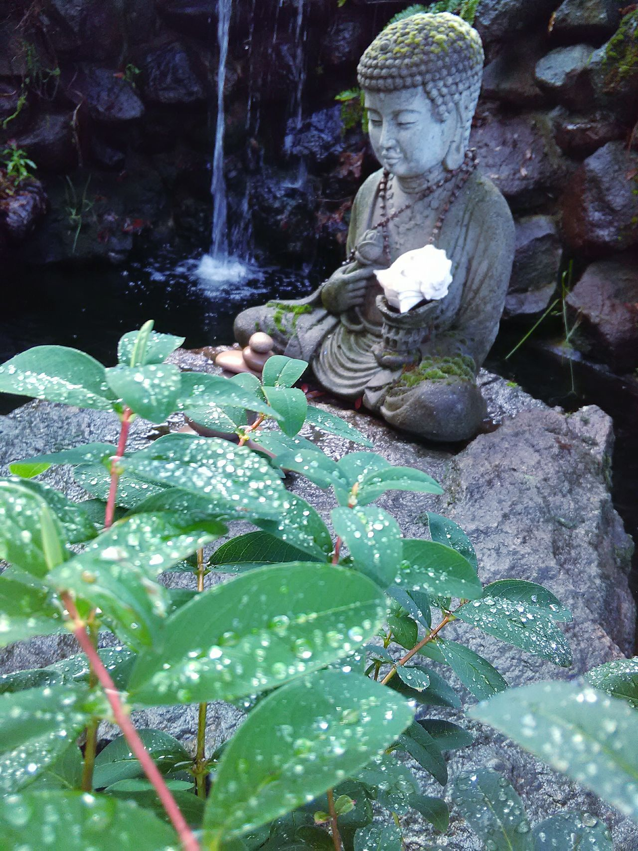 Rain Drops On Leaves Rain Drops Garden Statue Zen Rocks Japa Beads Leaves🌿 Water Drops My Point Of View Waterfall Rocks And Water Rainy Days☔ Meditation Garden Water Splashing EyeEm Nature Lover Koi Pond My Photography Garden Photography Plant Photography Plants 🌱 Zen Garden