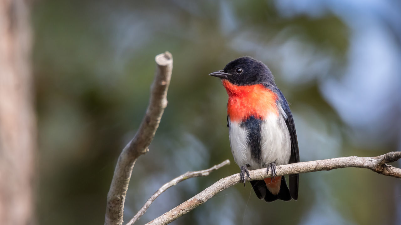 Mistletoe bird on a branch Animal Themes Avian Beauty In Nature Bird Birds Birds In The Wild Branch Close-up Color Colourful Day Focus On Foreground Forest Photography Mistletoe Bird Nature Nature Photography No People Outdoors Perching Red And Blue Selective Focus Twig Wildlife Wildlife Photos