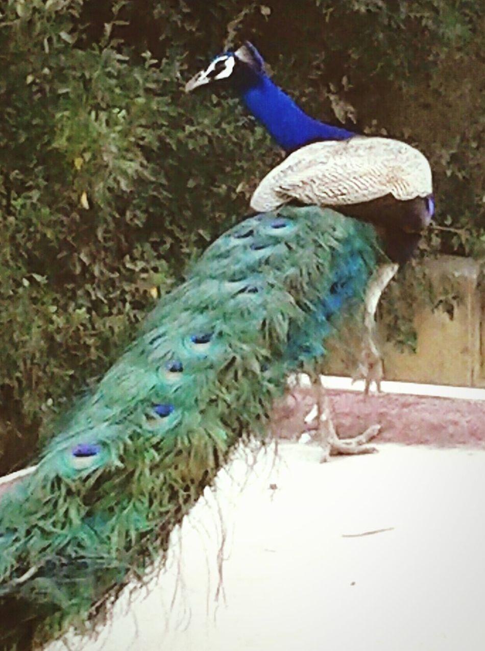 Beautiful Peacock Breathtaking__snaps Terrace Haryana