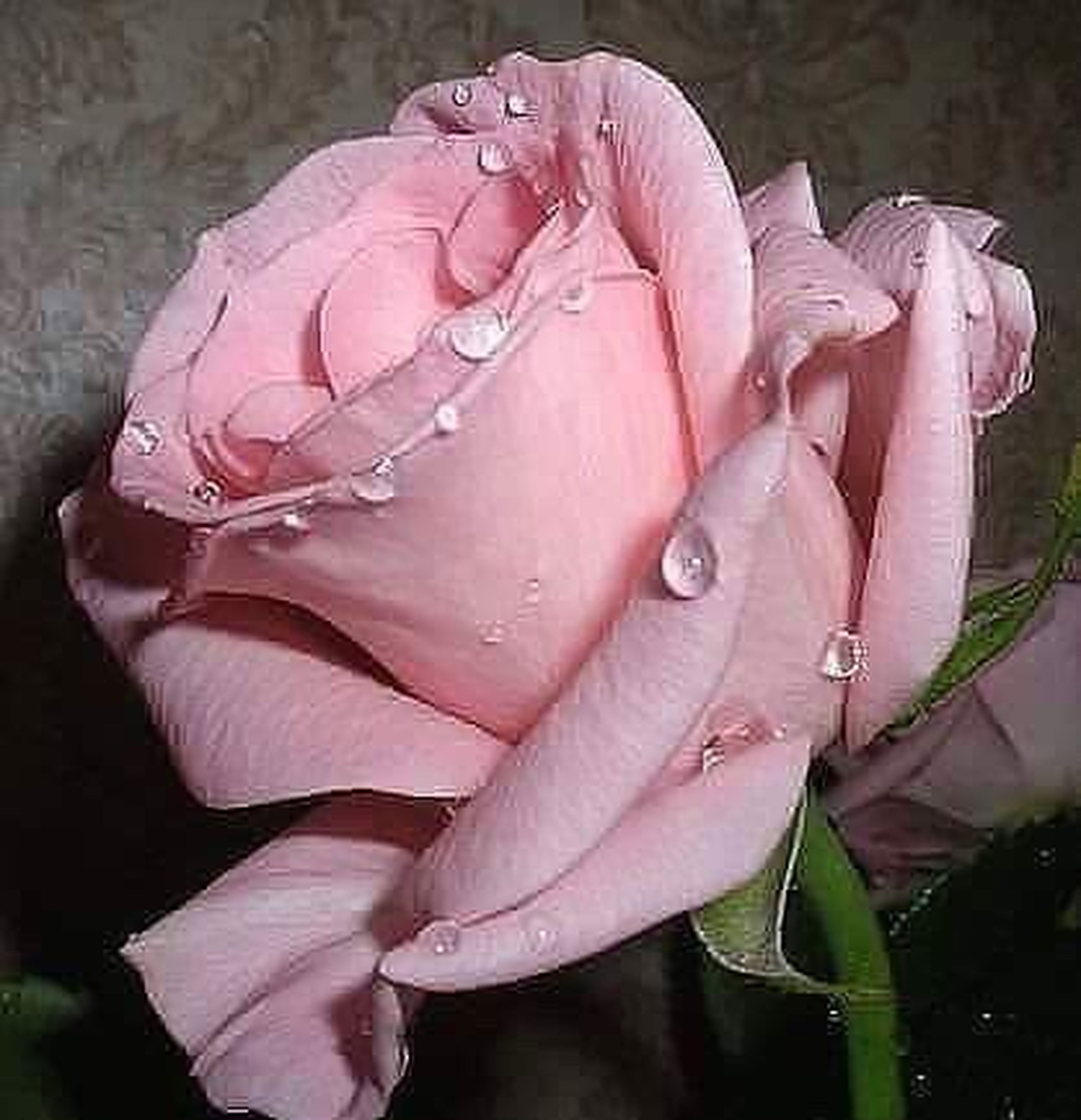 flower, drop, water, fragility, petal, wet, freshness, close-up, beauty in nature, growth, flower head, selective focus, raindrop, rain, in bloom, springtime, weather, pink color, single flower, nature, rose - flower, purity, blossom, plant, softness, dew, botany, rose, day, outdoors, bunch of flowers, vibrant color