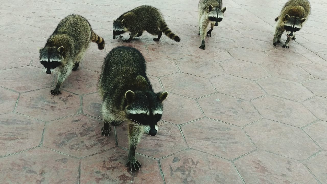 Beautiful stock photos of raccoon, Animal Themes, Animal Wildlife, Animals In The Wild, Carnivora