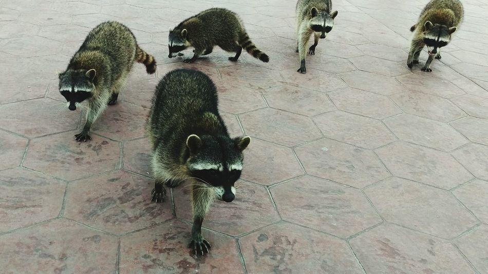 Beautiful stock photos of raccoon, Animal Themes, Animal Wildlife, Animals In The Wild, Carnivora