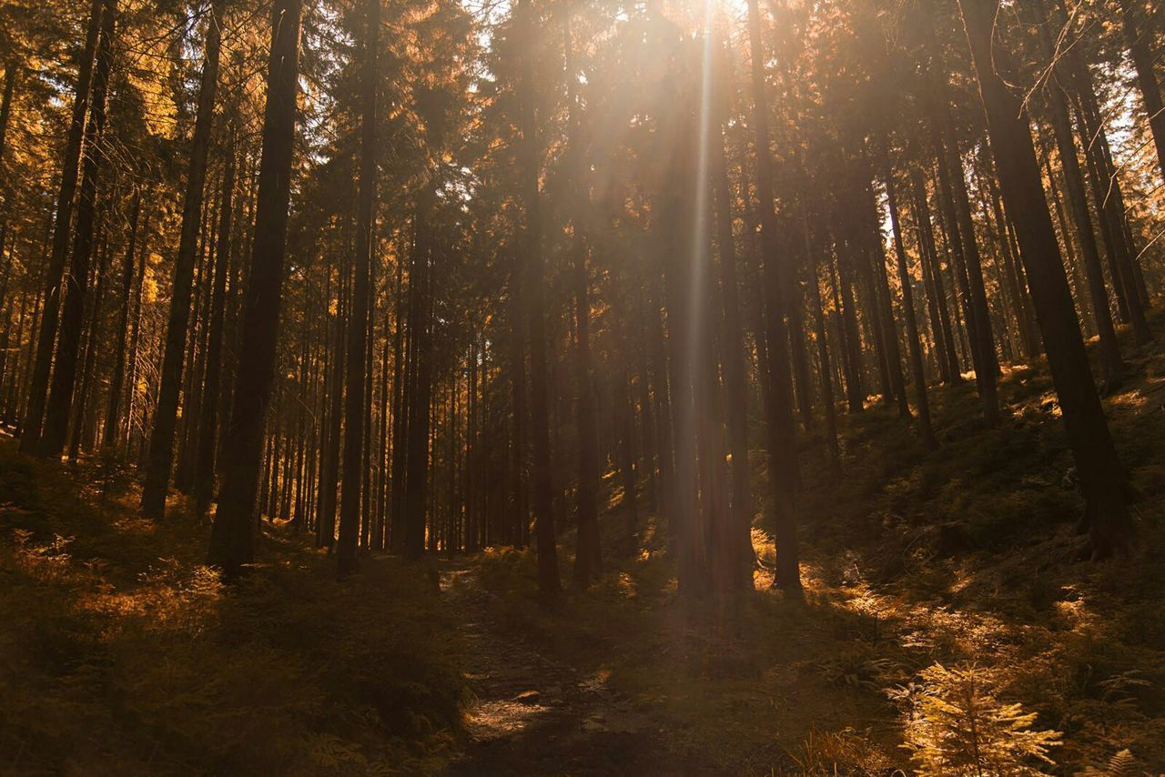 Forest Tree WoodLand Sunlight Sunbeam Growth Nature Landscape Woodlandwalks Tall - High Bright Sun Day POTD Outdoors Tree Trunk Wald Baum Wood Sunset Silhouettes Sunset Beautiful First Eyeem Photo