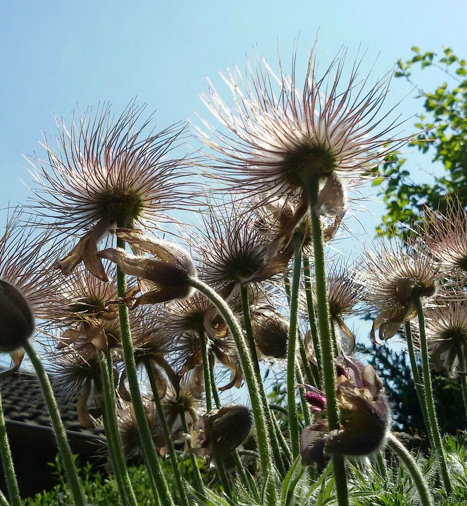 Verblüht noch schöner 💕 Flower Growth Plant Nature Fragility Flower Head Beauty In Nature Day Freshness No People Outdoors Sky Close-up Thistle EyeEm Best Shots - Nature Eye4photography  Garden Photography Kuhschelle Simple Moments Beauty In Nature Sunshine EyeEmBestPics Silhouette Scenics Nice Atmosphere