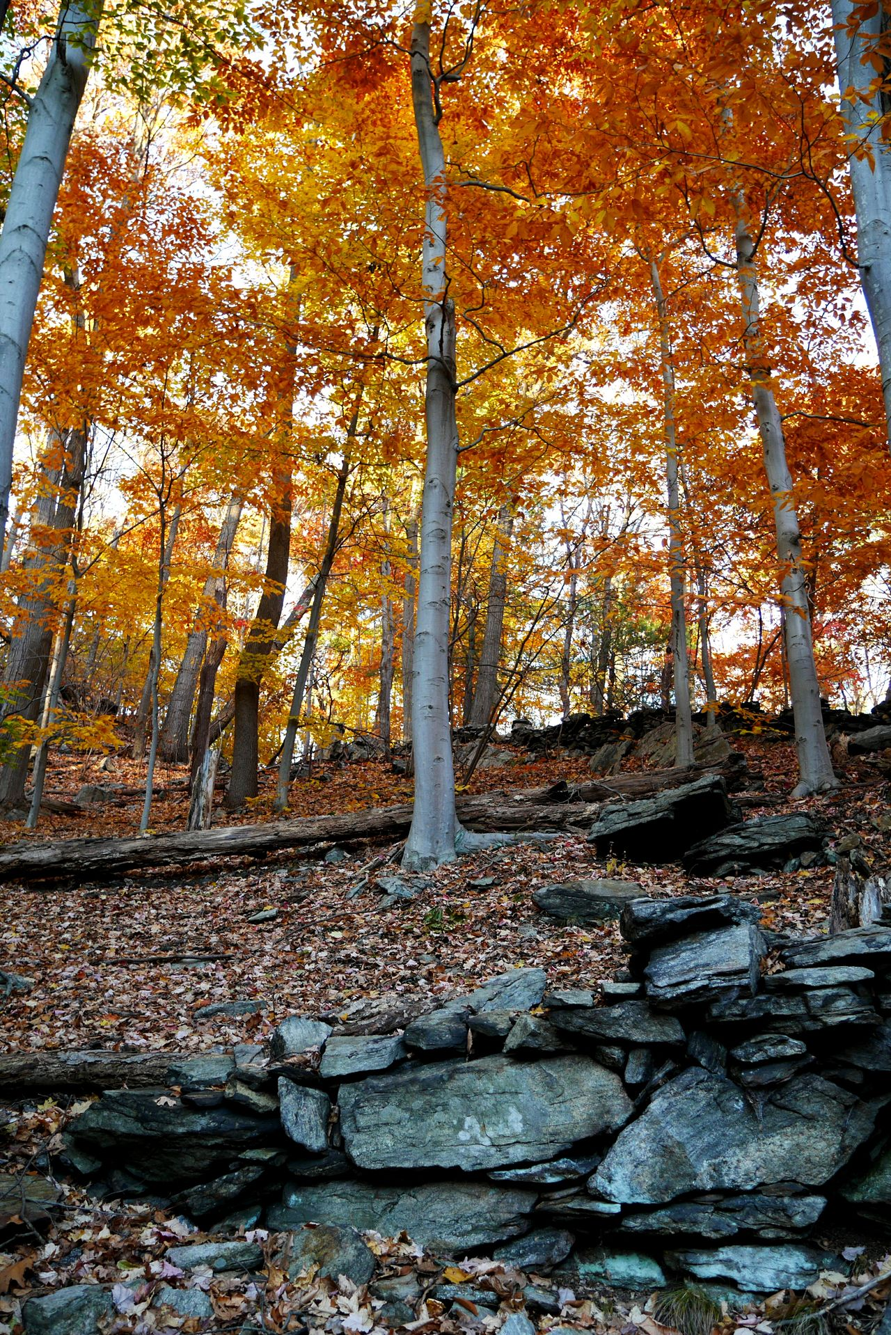 Incredibly beautiful colors of beech trees in autumn. Fallcolors Fall Leaves Naturelovers Beauty In Nature Nature Outdoors Stonewall Beechtree Tranquility No People