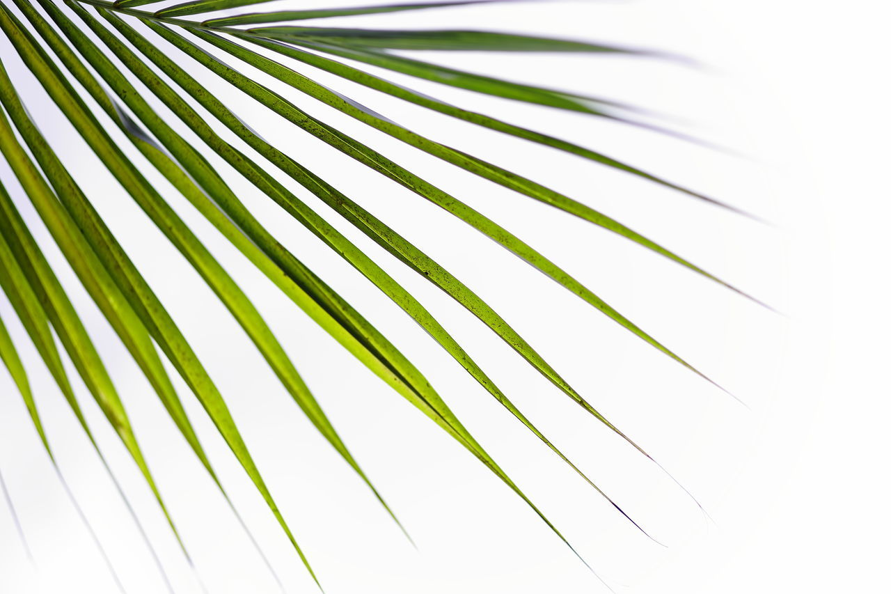 Nature details of palm tree leaves Palm Leaf Palm Tree Close-up Nature Green Color Exotic Lineart Design Nature Patterns In Nature Pattern, Texture, Shape And Form Lines And Patterns Lines, Shapes And Curves Linear Summer Season  Leaves Beauty In Nature Outdoors Corner Details Of Nature BackgroundsNo People Nature Palm Tree