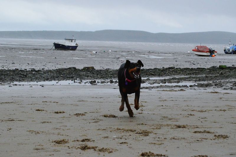 Doberman  Dobermangirl Dobe Dog Love My Dog Is Cooler Than Your Kid. Seascape Sea And Sky Boat Beachphotography Seaside_collection By The Seaside Having Fun Hello World EyeEm Best Shots Adventure Buddies