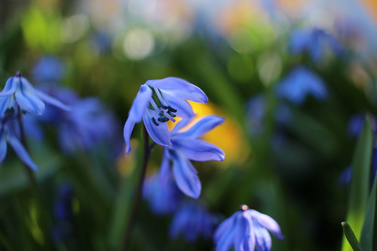 Animal Themes Beauty In Nature Blooming Blue Blue Flowers Close-up Day Flower Flower Head Fragility Freshness Garden Photography Growth Nature No People Outdoors Petal Plant Purple