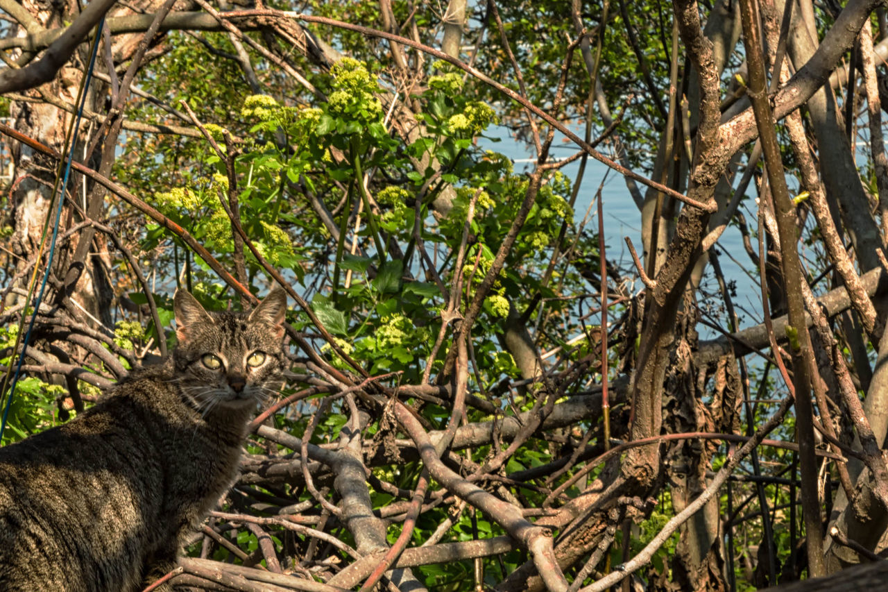 The Cat Between Branches Animal, Fur, Eyes, Stripes, Soft, Yellow, Glow, Pet, Domestic, Beauty In Nature Branch Close-up Day Feline, Tomcat, Tom, Kitten, Mouser; Alley Cat; Kitty, Furball; Forest Green Green Color Growing Growth Landscape Nature No People Outdoors Plant Tranquil Scene Tranquility Tree Tree Trunk Wood - Material WoodLand