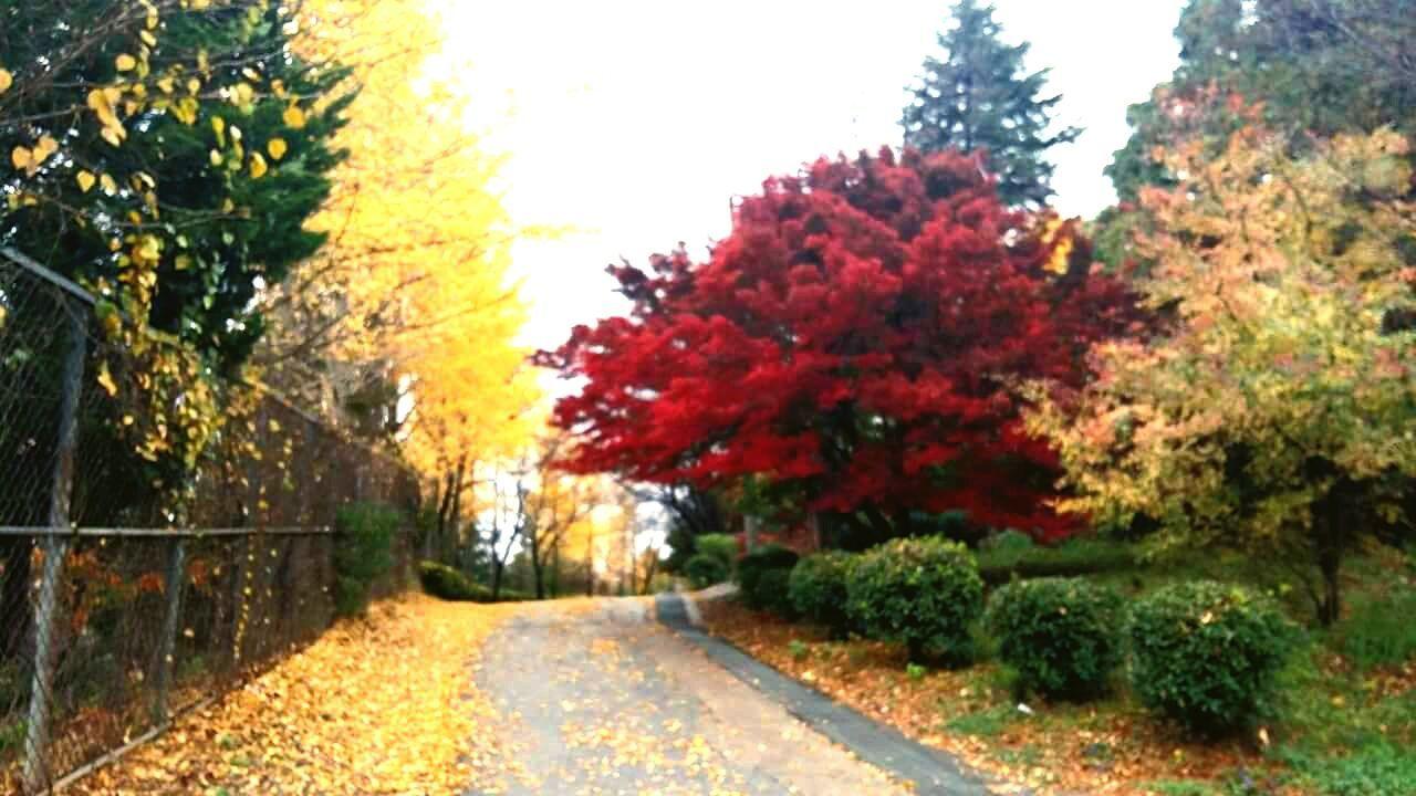 가을 은행 단풍 길