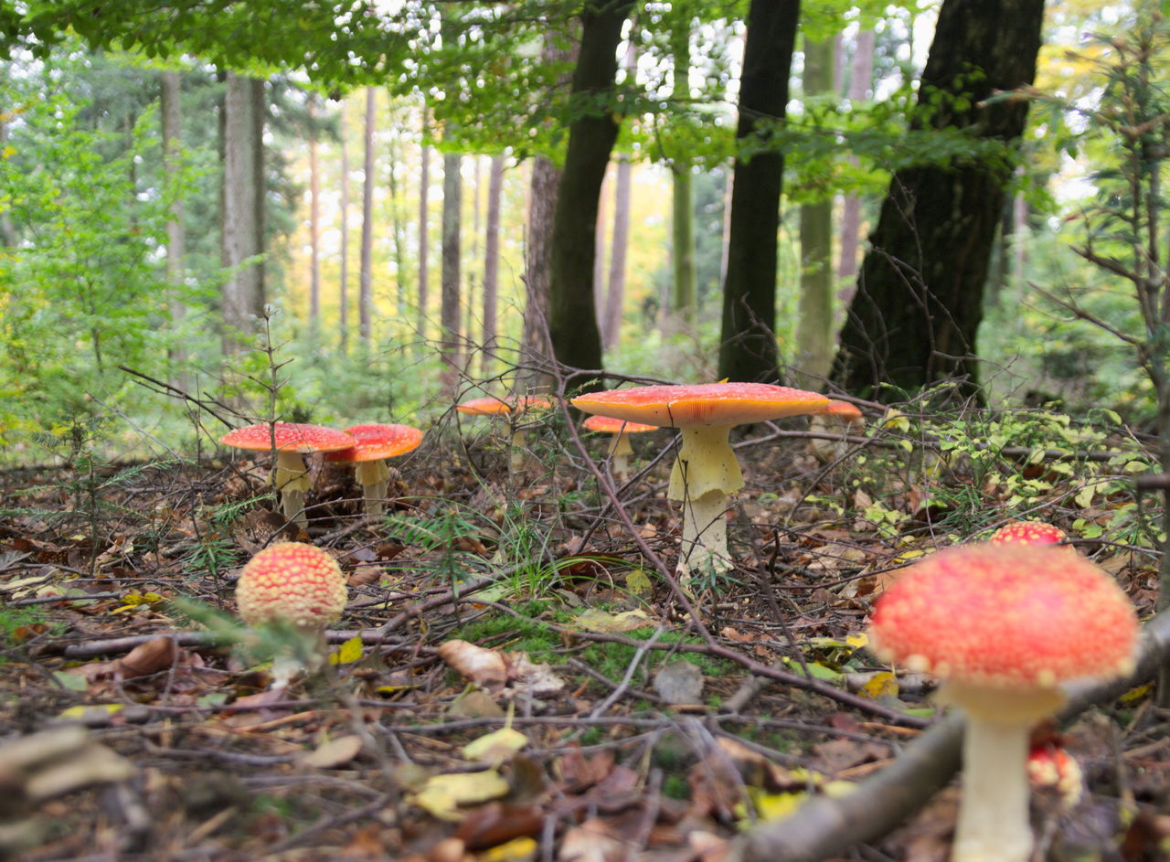 Fly agaric - Amanita muscaria - Fliegenpilz Amanita Muscaria Automn Automn Colors Beauty In Nature Close-up Day Fliegenpilz Fly Agaric Fly Agaric Mushroom Forest Forest Photography Forestwalk Freshness Fungi Growth Mushroom Nature No People Outdoors Red Red Carpet Schwarzwald Schwarzwaldliebe The Great Outdoors - 2017 EyeEm Awards