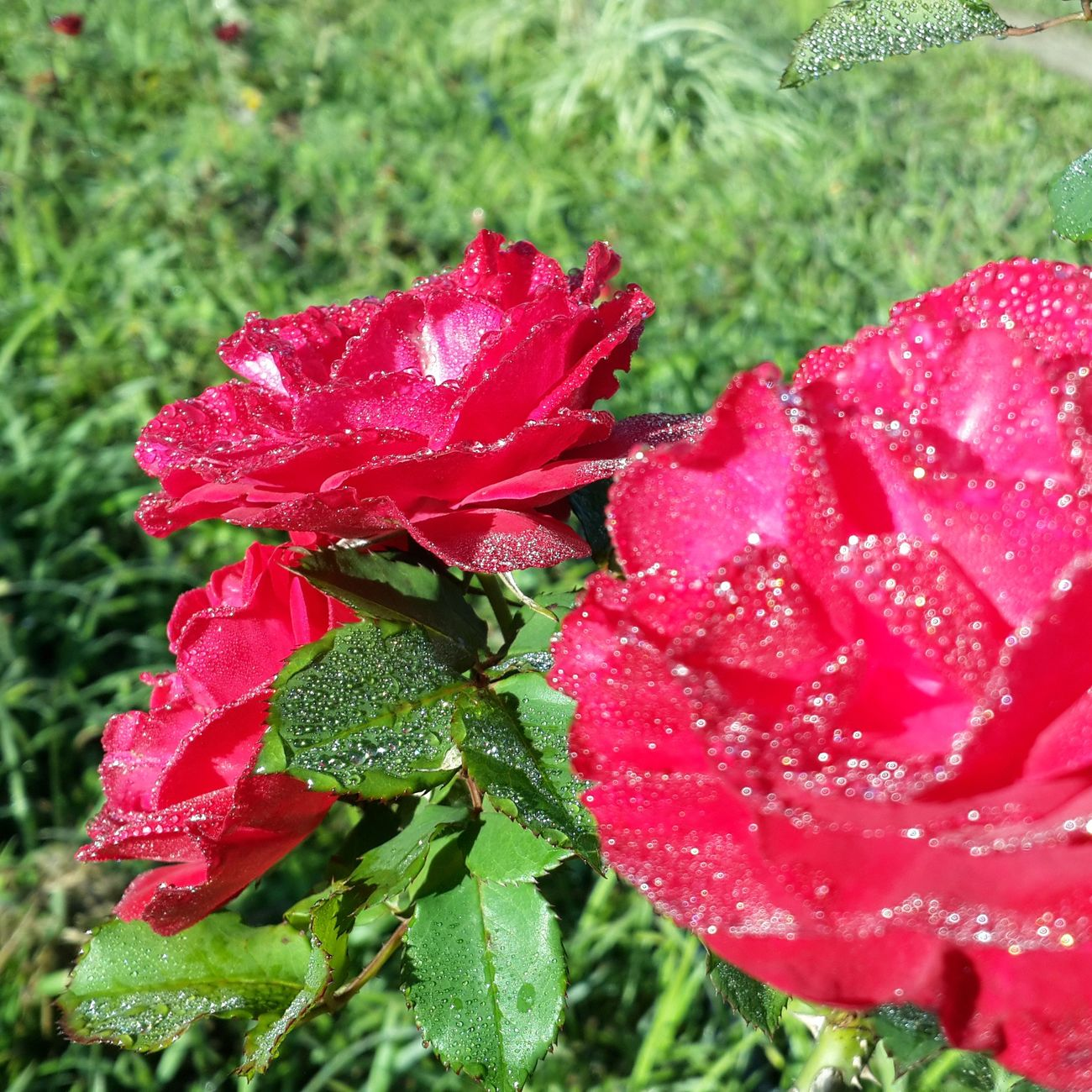 Rosas Rosas Rojas Flower