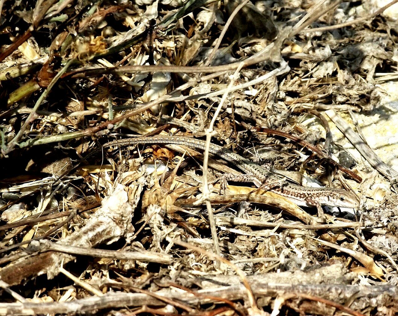 can you see the Lizard Better Look Twice Wildlife & Nature Eyem Nature Lovers  Eyem Best Shots Nature_collection Eyeem Lizards Lizard Nature .Nature On Your Doorstep Mobile Photography Nature_collection Wildlife Perfect Match