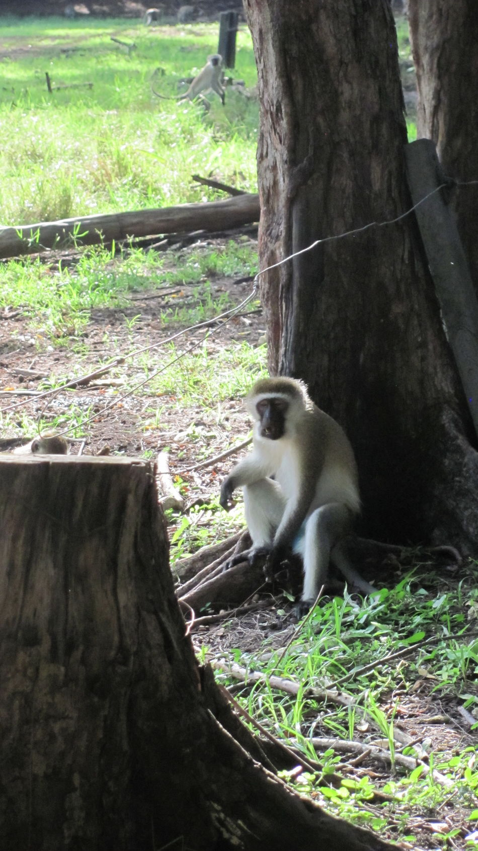 Animal Animal Themes Forest Mammal Monkey Monkey Sitting Tree Trunk Animals Animal Photography Animal Portrait
