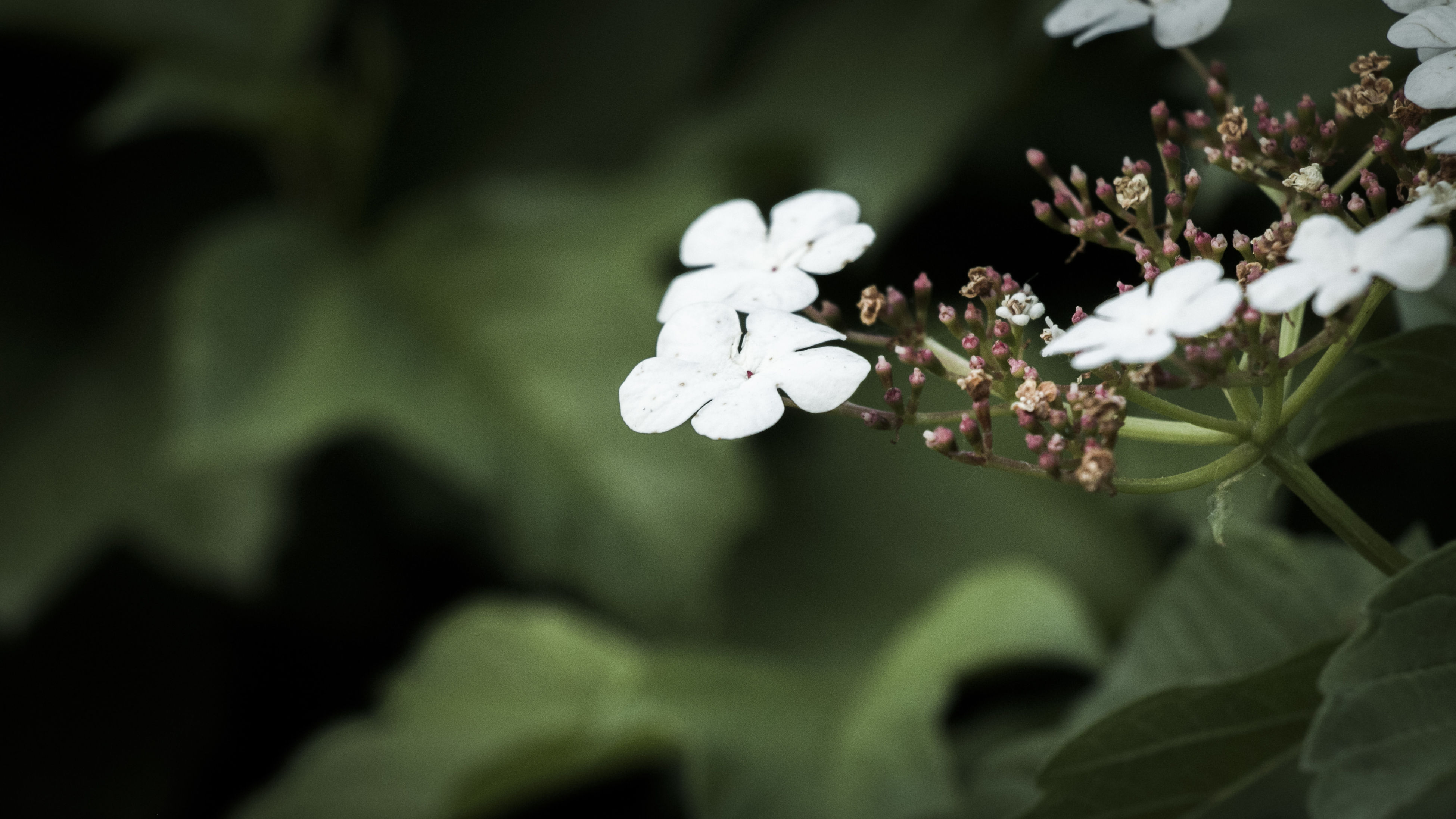 flower, freshness, growth, fragility, white color, petal, beauty in nature, flower head, nature, close-up, blooming, focus on foreground, leaf, plant, blossom, in bloom, selective focus, stem, springtime, outdoors