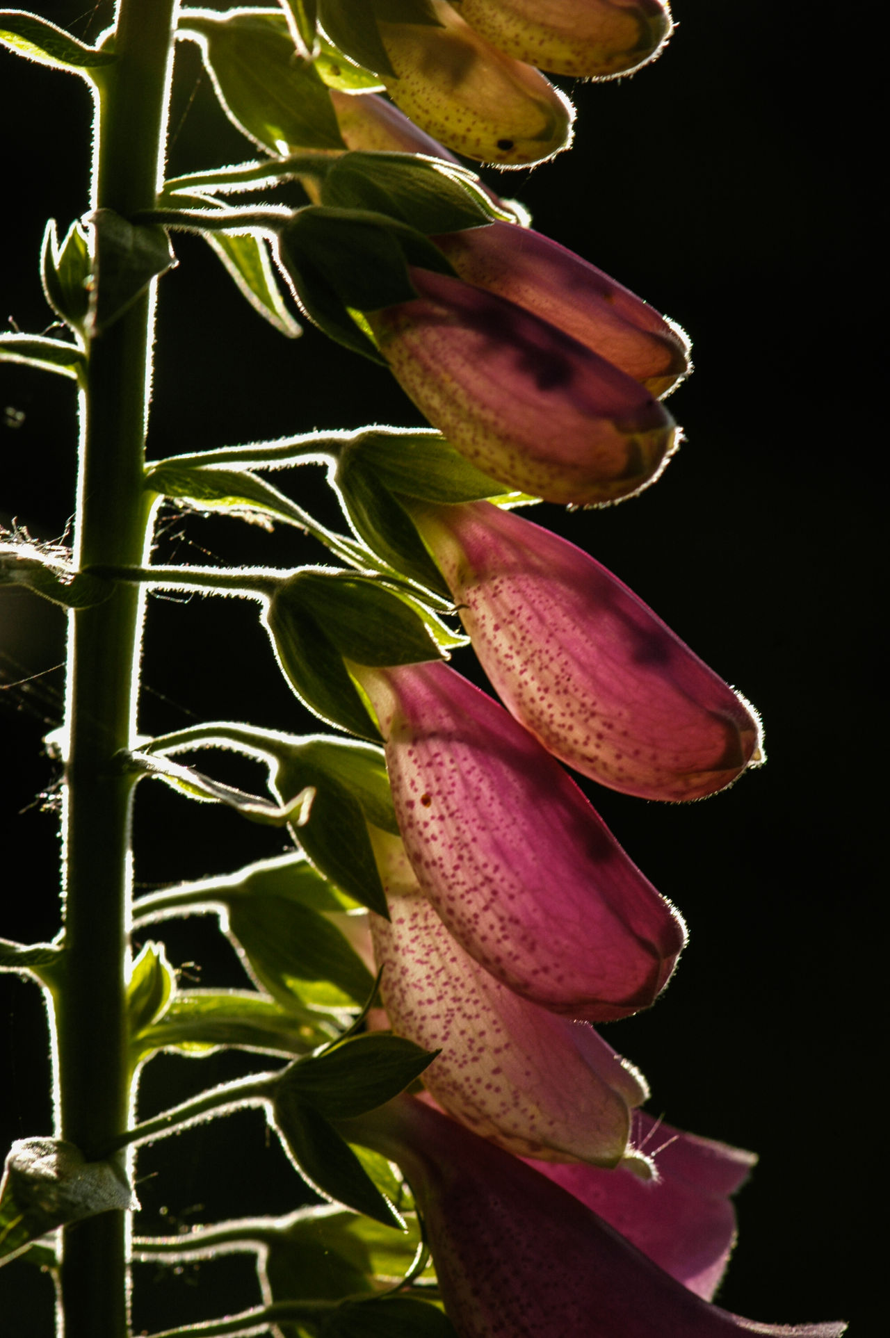 Backlit Foxglove flower Back Lit Beauty In Nature Black Background Close-up Day Digitalis Flower Flower Head Foxglove Fragility Freshness Garden Garden Flowers Garden Photography Growth Nature No People Outdoors Petal Pink Flower Plant Stem