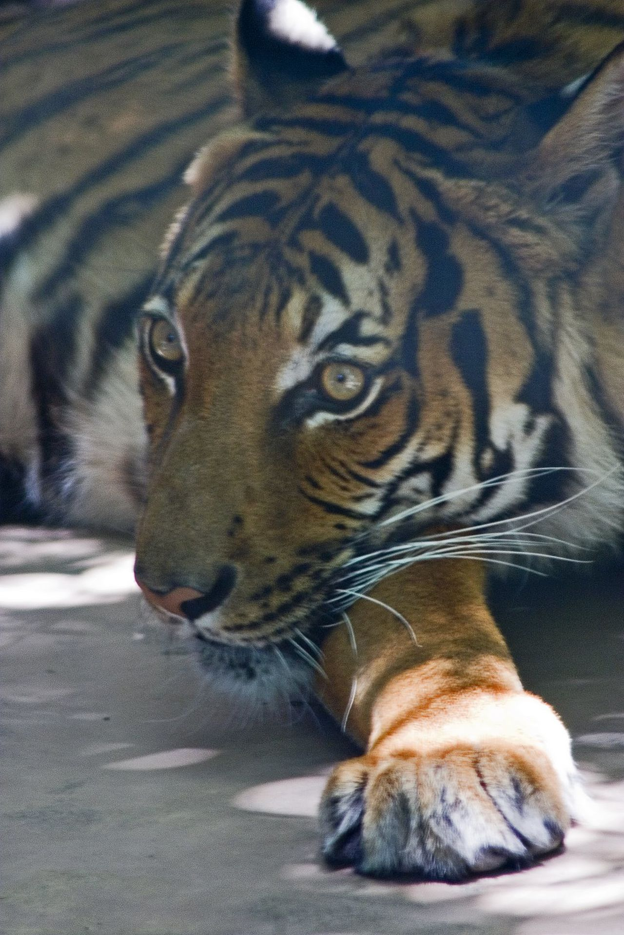 Animal Themes Animals In The Wild Close-up Day Domestic Animals Feline Leopard Mammal Nature No People One Animal Outdoors Portrait Tiger