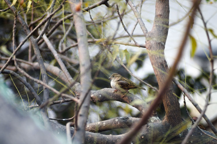 Adapted Lens Adapted To The City Animal Themes Animal Wildlife Animals In The Wild Beauty In Nature Bird Bird Collection Bird Photography Birds Branch EyeEm Bird Lover  FOCAL MC 80-200 F3.5 Nature Nature No People One Animal Outdoors Perching Sony A5000 Sony Mirrorless Sparrow Sparrow Perched Sparrows Tree